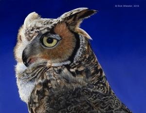 Great Horned Owl by Rick Wheeler