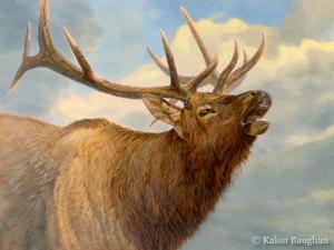 Elk Portrait  Kalon Baughan
