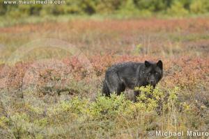 Fall Tundra - Wolf by Michael Mauro