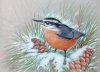 Nuthatch by Cynthia Stewart
